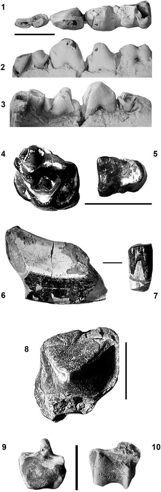 (1–3) FOBU 6205, Palaeosinopa lacus n. sp. (Holotype),