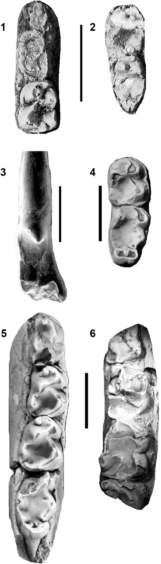 (1) FOBU 6366, Microsyops latidens, left dentary m1 in