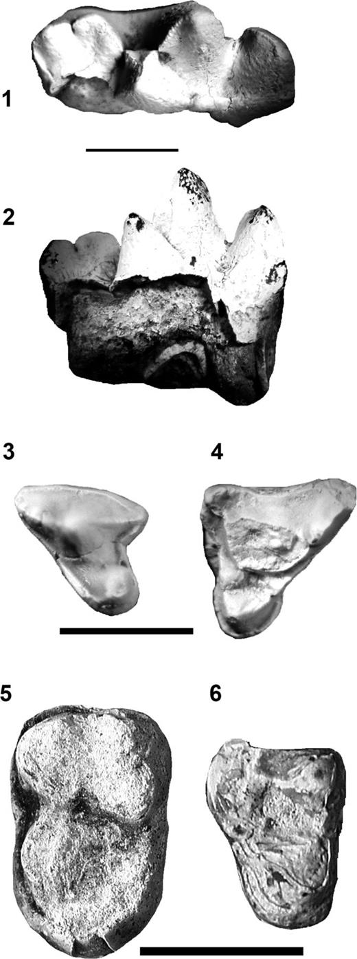 (1–2) UM 102584, Oxyaena forcipata, left dp4 with