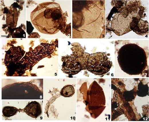 Photographs of Roper organic-walled microfossils: (1–4) Valeria lophostriata: (1) showing half enrolled