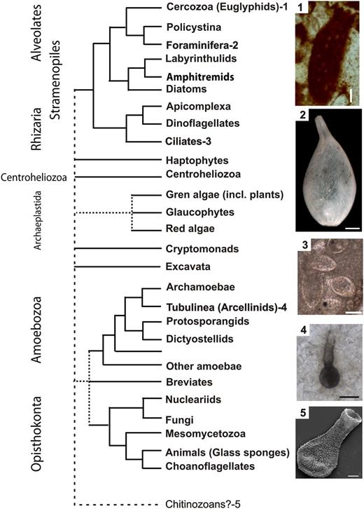 Simplified phylogenetic tree of protists, with examples of selected groups of testate