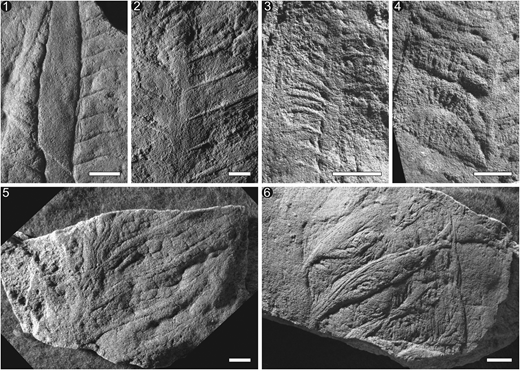 Primary branching morphology in Arborea from the Ediacara Member of the Pound Subgroup. Branches arranged in increasing quality of preservation, from poorest-preserved branches to highest-quality preservation with secondary and possibly tertiary branching exposed. (1) Specimen P34499 displaying parallel rectangular primary branches with possible secondary branching structures perpendicular to the primary branches. (2) Specimen P13801b with peg-like margins to the primary branches that pass beyond the margin of the stalk, suggesting the anchoring site is internal to the stalk and preserved as a composite mold. (3) Specimen P14307 with primary branches composed of peg-like structures. (4) Specimen P40775 displaying an arched primary branch with distinct secondary branching emerging from the base of the branch and overlying the base of the subsequent adjacent branch. (5) Specimen P40776 with well-defined cylindrical primary branch stalks and rounded to globular secondary branching. Secondary branching begins in the middle of the primary branch, attached to the primary branching stalks. (6) Specimen P40786, with higher-relief primary branches and with evidence of an organic sheet behind the branches, attaching them together and preventing significant branch movement. All scale bars=1 cm.