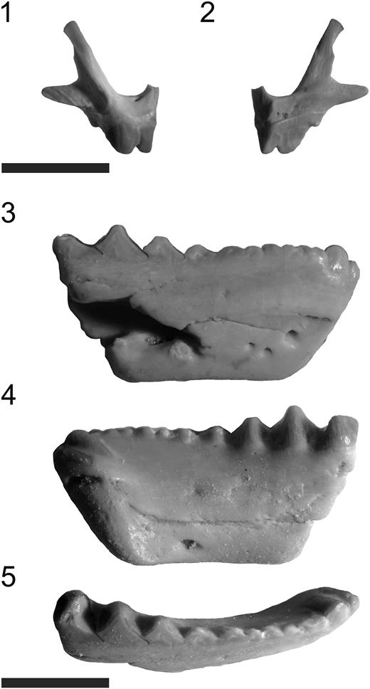 Fraserosphenodon latidens n. comb.: (1, 2) AUP 11191, right premaxilla, shown in labial (1) and lingual (2) views; (3–5) AUP 11192, right dentary, shown in labial (3), lingual (4), and occlusal (5) views. Scale bars=6 mm (1, 2); 3.5 mm (3–5).