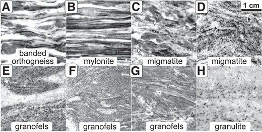 Scans of sections illustrating the range of textures of studied rocks displayed in the Eger Crystalline Complex. All images have the same scale (indicated in D). (A) Banded orthogneiss consists of alternating monomineralic bands of feldspars enclosing the quartz lenses. (B) Mylonitic bands are thinner than those in the orthogneisses. (C) Neosomes surrounding the residual, corroded aggregates of quartz and feldspars (paleosome) in the migmatite are marked by dotted contours and white arrows. (D) Migmatite that consists entirely of the neosome; leucosomes are indicated by black arrows. (E, F, G) Granofelses consist of a homogeneous mixture of primarily feldspars, quartz and white micas. Granofelses in general contain a lower amount of biotite and more muscovite than the orthogneisses (Table 3). (H) Granulite shows fine-grained equigranular texture dominated by felsic minerals.