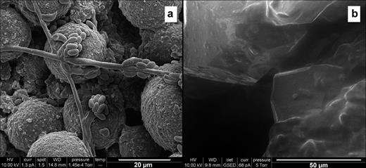 (a) A CryoSEM SEI image showing detail of the clusters of rod-like cells associated with the biofilm resting on fresh framboidal pyrite in the reacted mudstone. High-vacuum cryoSEM, gold coated sample, FEI ESEM instrument (courtesy of A. E. Milodowski, BGS). (b) An ESEM SEI image of reacted sandstone showing the largely planar pore walls to a macropore covered by P. aeruginosa derived biofilm which is darker in its colouration and locally bridges smaller gaps (above and right of centre) (courtesy of J. Rushton, BGS).