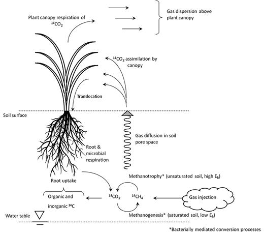 Conceptual model of 14CH4 and 14CO2 behaviour following injection in the subsoil.