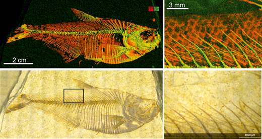 X-ray map and photograph of a fossil fish, Diplomystus dentatus, from the Eocene Green River formation, Wyoming, USA, displaying P (red) and Sr (green). Fish scales, which are not visible on the fossil specimen itself, are clearly visible as variations in P intensity on the element map. The black box shows the position of the close up images.