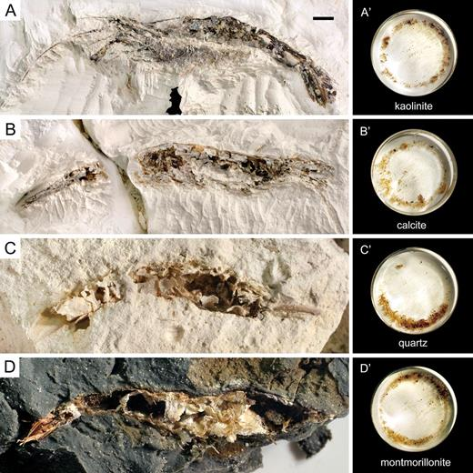 Exhumed Crangon remains after 17weeks in A) kaolinite, B) calcite, C) quartz, and D) montmorillonite. A′–D′ are the corresponding isolated remains following a screen rinse, ultrasonic bath, and 24hours of aqueous tumbling. Scale bar in A equals 5mm for A–D and 8mm for A′–D′.