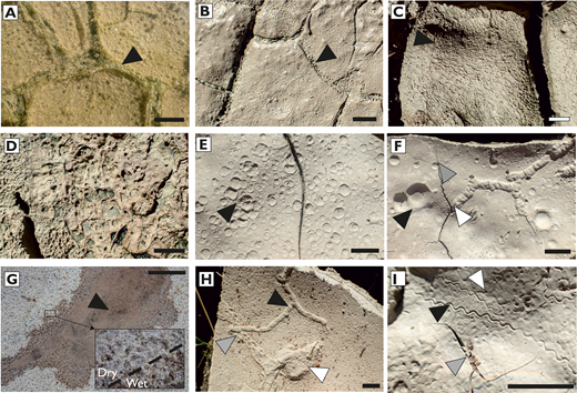 """Microbial and abiotic sedimentary surface textures in the Murchison River. Images A–F and H–I from ponds at Stonewall, scale bar = 1 cm. Image G from alluvial sand at Four Ways, scale bar = 5 cm. See Online Supplemental File 1 for high-resolution, zoomable images. A) Submerged biofilm with oxygen bubbles. Arrow indicates how a thicker, filamentous microbial community has developed along the edge of a submerged desiccation crack and acts as a locus for a greater density of bubbles. B) Dried equivalent of A, where cavities left by bubble have been left in clay film. Arrow points to greater density of bubble marks along desiccation crack. C) Elongate bubble impressions in dried clay on slope slightly inclined in direction of arrow. Arrow indicates how ellipsoidal bubble marks are aligned downslope, presumably due to retreat as water dried, and show convergence and divergence of bubble tracks around an obstacle—in this instance a small raised mound of sediment. D) Dried biofilm on clay substrate demonstrating original organic material with cavities from burst bubbles aligned in direction of water retreat. E) Raindrop impressions in dried clay. Impressions formed when clay was wet; they have greater dimensions, overlap one another, and display crater rims (arrow), which distinguish them from bubble marks. F) Neoichnological, microbial, and abiotic sedimentary surface textures in close association. Raindrop impressions formed on a substrate with a veneer of water at the time of precipitation have wider dimension than those in damp sediment, and less pronounced rims, although craters still exhibit interference with one another (black arrow). Branching insect burrow superimposed by small biofilm bubble marks (white arrow), which also occur on sediment away from burrow. Small """"Cochlichnus""""-type trail, formed when sediment had a thin film of water, has been offset by later desiccation cracking (gray arrow). G) Raindrop impressions in sand, stabilized by salt crust. Water was """