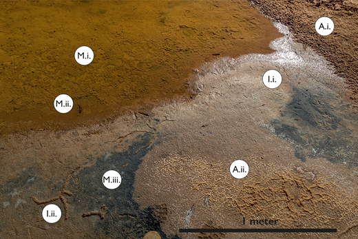 Margin of deep pool of standing water on dry river bed of the Murchison River, west of The Loop. Image shows close spatial proximity of sedimentary signatures developed by abiotic (A), microbial (M) and ichnological (I) means. Abbreviations: A.i. = adhesion marks developed on the bottomset of a 1.5 m-tall fluvial sand bar; A.ii. = tepee structures developed in salt crust; M.i. = wrinkled surface developed on top of 0.5 cm-thick microbial mats; M.ii. = rolled-up and curled fragments of microbial mat in shallower water; M.iii. = reduced layer of black sediment exposed where mats were previously active; I.i. = bird footprints; I.ii. = branching insect burrow developed in thin layer of oxidized sediment underneath salt crust, does not penetrate into reduced sediment.