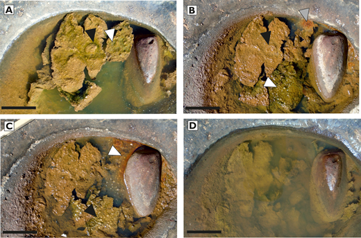 Changes to living microbial mat in response to environmental changes, within an isolated rain-fed pothole at Four Ways. Scale bar = 5 cm. See Online Supplemental File 3 for high-resolution, zoomable images. A) Detached mat containing oxygenic microbial community floating in pond and exhibiting doming (black arrow) and small surficial bubbles of oxygen (white arrow). Photograph taken on 27 April 2016, following 9.7 mm rain in the previous 24 hours. B) Same mat 12 days later (9 May 2016) with only 0.2 mm rain in intervening days. Pond has dried slightly. Mat dome has collapsed (black arrow) and mat has fragmented further. Fewer oxygen bubbles visible, but 'lizard-skin' domes (sensuEriksson et al. 2007) have developed in separate mat fragment floating deeper under water (white arrow). New microbial community seen as reddened biofilm (gray arrow) has developed (possibly indicating a community of iron-oxidizing bacteria). C) Mat on 16 May 2016, following seven days without precipitation. No surficial oxygen bubbles. Lizard-skin lower mat now subaerially exposed at water-air interface, but maintaining form (black arrow). Red biofilm has expanded (white arrow). D) Mat on 23 May 2016, immediately after 5.2 mm precipitation. Pond has refilled, but mats have not yet 'caught-up' with new water level. Mats are apparently temporarily dormant with no evidence for active production of oxygen bubbles.