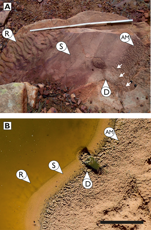 Evidence for preservation of primary sedimentary surface textures in the geological record, shown through comparison of ancient and modern surfaces. A) Bedding plane exposure of the Silurian Tumblagooda Sandstone, preserved in the wall of the Murchison River Gorge at The Loop. Ruler for scale is 1 meter. B) Modern pond of standing water in the Murchison River, west of The Loop. Scale bar = 20 cm. Both the modern and ancient examples reveal analogous substrate conditions, exhibiting ripple formation in deeper parts of a submerged pond (arrow R), a smooth substrate on the recently emergent drainage slope at the pond margin (arrow S), adhesion marks on the emergent margin of the pond (arrow AM), and a dislodged raft of adhesion marked sediment (arrow D). In the modern example, the raft was dislodged artificially, while in the ancient example it appears to have been dislodged by an arthropod; arthropod tracks are common in the formation and a series of grooves (small white arrows) at this location may be repichnial.