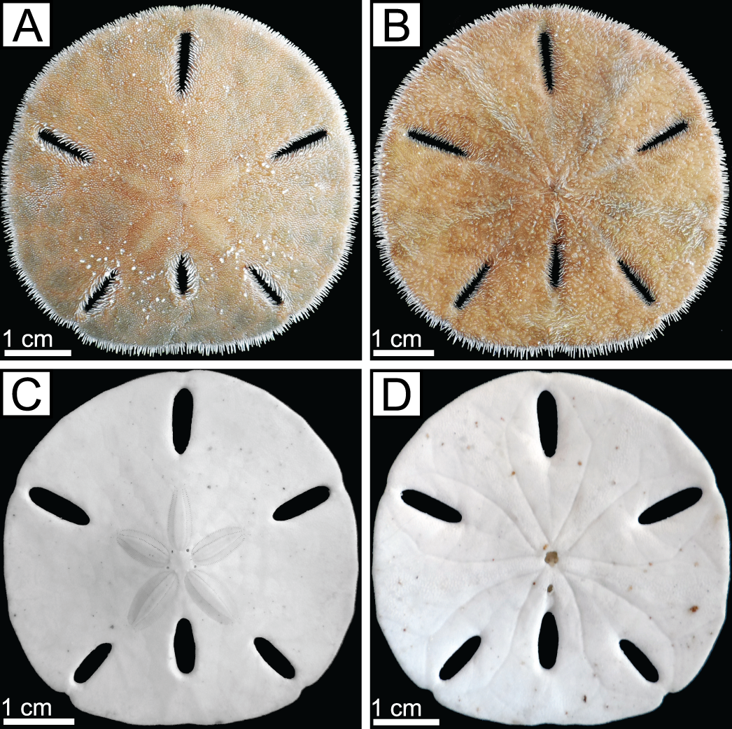 RECOGNIZING TRACES OF SNAIL PREDATION ON THE CARIBBEAN SAND DOLLAR ...