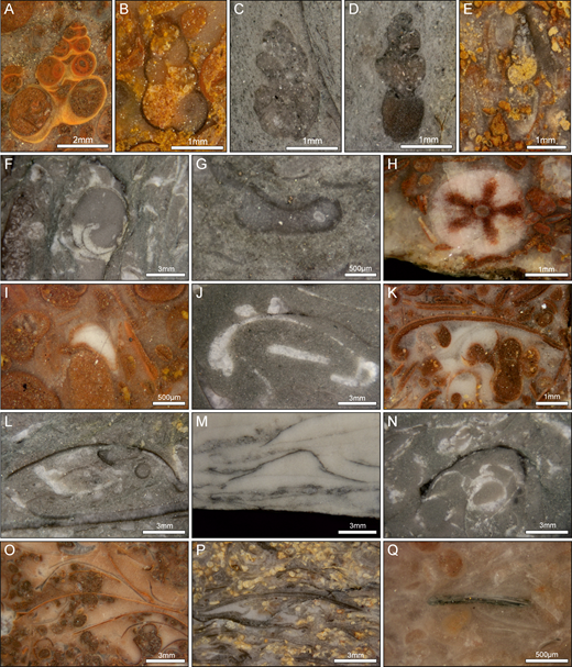 Fossil invertebrates from polished slabs of the Servino Formation. A) Coelostylina werfensis, Acquaseria Member, CD-12. B) Polygrina sp., Ca'San Marco Member, MR-01. C, D) Gastropod sp. A, Gastropod Oolite Member, CD-07. E) cf. Allocosmia sp., Myophoria Beds Member, CD-25. F) Natiria costata, Myophoria Beds Member, CD-43. G) Microconchus sp., Gastropod Oolite Member, CD-08. H) Holocrinus, Myophoria Beds Member, CD-42. I) Ophiuroidea, Acquaseria Member, CD-16. J) Neoschizodus spp., Myophoria Beds Member, CD-39. K) Bivalve sp. A, Gastropod Oolite Member, CD-10. L) Austrotindaria spp., Myophoria Beds Member, CD-43. M) cf. Bakevellia spp., Ca'San Marco Member, CD-01. N) Costatoria costata, Myophoria Beds Member, CD-39. O) cf. Eumorphotis spp., Gastropod Oolite Member, CD-11. P) cf. Scythentolium sp., Myophoria Beds Member, MR-03. Q) Lingularia spp., Gastropod Oolite Member, CD-05.