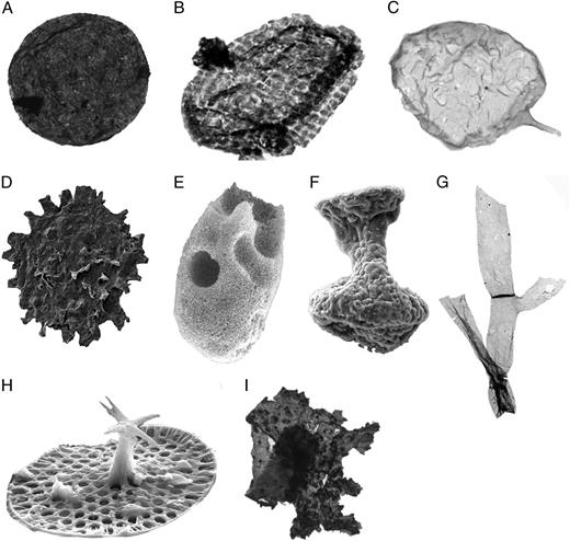 Representative images of fossil categories. A, Smooth walled organic microfossil.                B, ornamented organic walled microfossil Satka favosa, from Javaux                et al. (2004). C, Organic walled                microfossil with asymmetrical processes, Ceratosphaeridium sp. D,                Organic walled microfossil with symmetrical processes. E, Vase shaped microfossil                (VSM). F, Test of putative ciliate from Mongolia. G, Microscopic multicellular, Proterocladus from Butterfield (2009). H, Scale microfossil, Characodictyon skolopium. I,                Macroscopic MOWS (macroscopic organic warty sheet) from Mongolia.