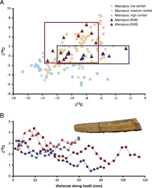 Stable isotope data indicative of relative aridity and seasonality. A, Stable                carbon and oxygen isotope Macropus data of modern specimens from                different rainfall regimes (Prideaux et al. 2007) and fossil specimens from Cuddie Springs. B, Serial oxygen isotope                data of Diprotodon from individuals from prearchaeological (SU9,                blue) and archaeological (SU6, red) horizons at Cuddie Springs shown with a serially                sampled Diprotodon lower incisor.