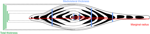 H. depressa in axial view. Measurements of mediolateral thickness (MlTh) are indicated in blue; total thickness (Th) in green; and corresponding radii in red.