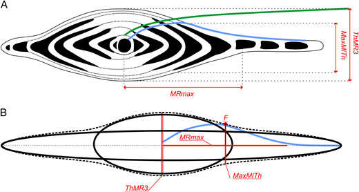 A, The growth function for mediolateral thickness (blue) and for thickness (green) plotted over an axial section. The unidimensional growth-invariant characters ThMR3, MRmax, and MaxMlTh are depicted in red. B, Schematic illustration of the axial shape of H. depressa, consisting of a combination of two different ellipses. The intersection point of MRmax and MaxMlTh projected onto the test surface indicates the onset point of test flattening. This is described by the ratio of MRmax to MaxMlTh, herein called F.