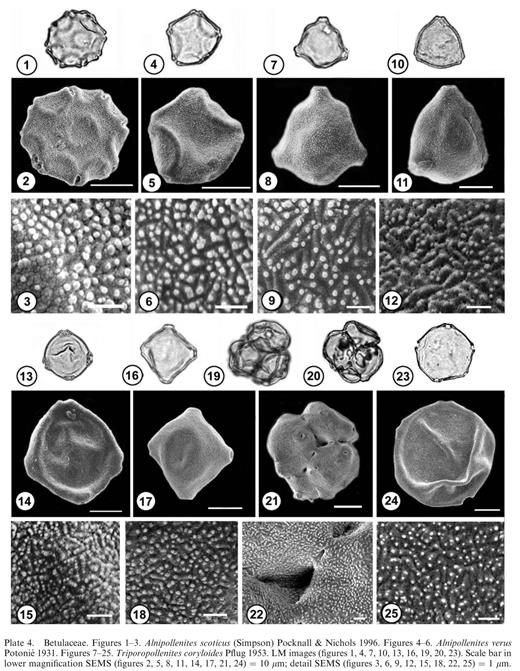 Betulaceae. Figures 1–3. Alnipollenites scoticus (Simpson) Pocknall & Nichols 1996. Figures 4–6. Alnipollenites verus Potonié 1931. Figures 7–25. Triporopollenites coryloides Pflug 1953. LM images (figures 1, 4, 7, 10, 13, 16, 19, 20, 23). Scale bar in lower magnification SEMS (figures 2, 5, 8, 11, 14, 17, 21, 24) = 10 μm; detail SEMS (figures 3, 6, 9, 12, 15, 18, 22, 25) = 1 μm.