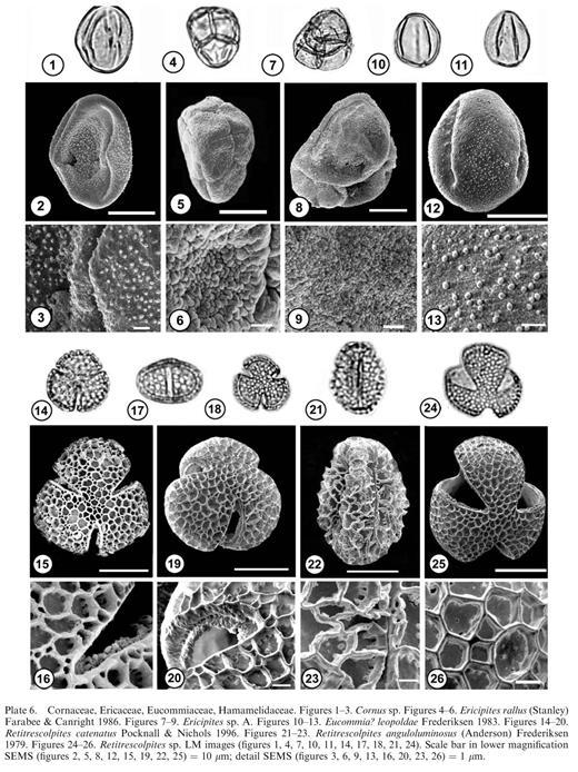 Cornaceae, Ericaceae, Eucommiaceae, Hamamelidaceae. Figures 1–3. Cornus sp. Figures 4–6. Ericipites rallus (Stanley) Farabee & Canright 1986. Figures 7–9. Ericipites sp. A. Figures 10–13. Eucommia? leopoldaeFrederiksen 1983. Figures 14–20. Retitrescolpites catenatusPocknall & Nichols 1996. Figures 21–23. Retitrescolpites anguloluminosus (Anderson) Frederiksen 1979. Figures 24–26. Retitrescolpites sp. LM images (figures 1, 4, 7, 10, 11, 14, 17, 18, 21, 24). Scale bar in lower magnification SEMS (figures 2, 5, 8, 12, 15, 19, 22, 25) = 10 μm; detail SEMS (figures 3, 6, 9, 13, 16, 20, 23, 26) = 1 μm.