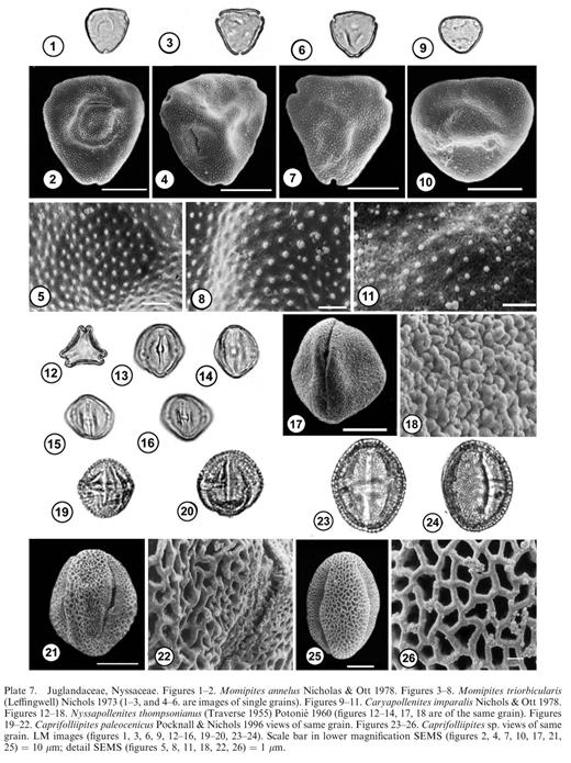 Juglandaceae, Nyssaceae. Figures 1–2. Momipites annelusNicholas & Ott 1978. Figures 3–8. Momipites triorbicularis (Leffingwell) Nichols 1973 (1–3, and 4–6. are images of single grains). Figures 9–11. Caryapollenites imparalisNichols & Ott 1978. Figures 12–18. Nyssapollenites thompsonianus (Traverse 1955) Potonié 1960 (figures 12–14, 17, 18 are of the same grain). Figures 19–22. Caprifolliipites paleocenicusPocknall & Nichols 1996 views of same grain. Figures 23–26. Caprifolliipites sp. views of same grain. LM images (figures 1, 3, 6, 9, 12–16, 19–20, 23–24). Scale bar in lower magnification SEMS (figures 2, 4, 7, 10, 17, 21, 25) = 10 μm; detail SEMS (figures 5, 8, 11, 18, 22, 26) = 1 μm.