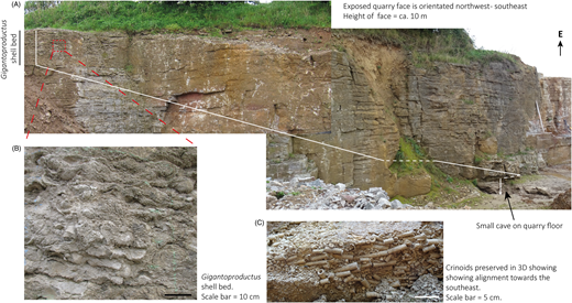 Once-a-Week Quarry. (A) The extent of the logged quarry face (Fig. 6) is represented by the white line. The base of the section was exposed and logged in a small cave as shown. To access the full section, the log was measured moving systematically to the NW across the quarry face. To the SE, beyond the white marker pole, renewed quarrying has exposed more of the section. (B) A detail of a vertical section through the Gigantoproductus shell bed. (C) A three-dimensional view of crinoid stems predominantly aligned NW–SE.