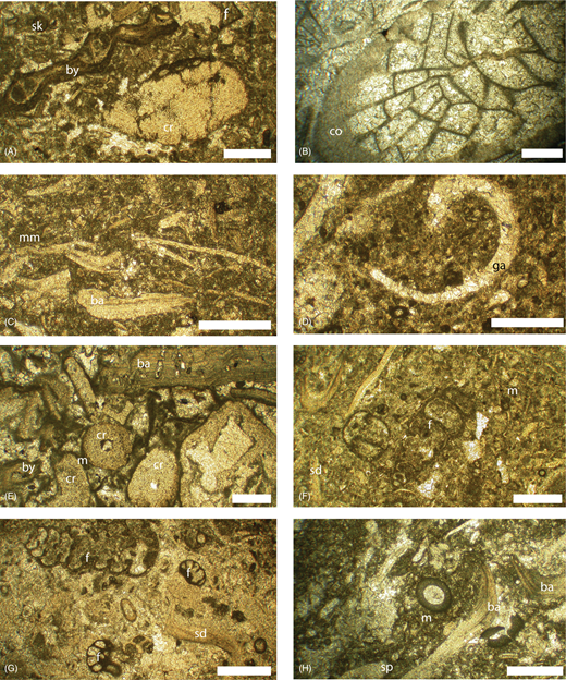 Thin section micrographs from the Ricklow Quarry section. All scale bars are 0.5mm. (A) Skeletal packstone with preserved fenestellid bryozoan (by), Tetrataxis foraminiferan (f) and crinoid ossicle (cr) (sample 1a, taken at height c. 1.25m from the base of the section). (B) Rugose coral boundstone showing a large section of a well-preserved coral (co) (sample 2a at c. 1.55m). (C) Skeletal wackestone facies showing brachiopod fragments (ba) and a micritic matrix (mm) (sample 2c at c. 1.75m). (D) Molluscan wackestone facies with gastropod moulds (ga), skeletal fragments, foraminifera (f) and peloids (pl) within the matrix (sample 2d at c. 3.20m). (E) The upper part of the crinoidal grainstone – rudstone dominated by crinoid debris, some with a micritic (m) envelope (sample 2i at c. 2.25m). (F) Skeletal wackestone–packstone comprising highly fragmented shell debris (sd), including some foraminiferans (f, paleotextularid) (sample 5d at c. 6.5m). (G and H) Gigantoproductus floatstone with well-preserved foraminiferan (f). In (G) there are paleotextularids at the top right and various endothyrid fragments; in (H) there is Earlandia vulgaris, and brachiopod (ba) fragments surrounded by micrite (m) and some sparry calcite (spc) (G), sample 7h taken from c. 8.75 and H, sample 7m taken from c. 8.1m). Sample numbers are assigned to hand specimen samples and corresponding thin sections currently archived at the University of Leicester.