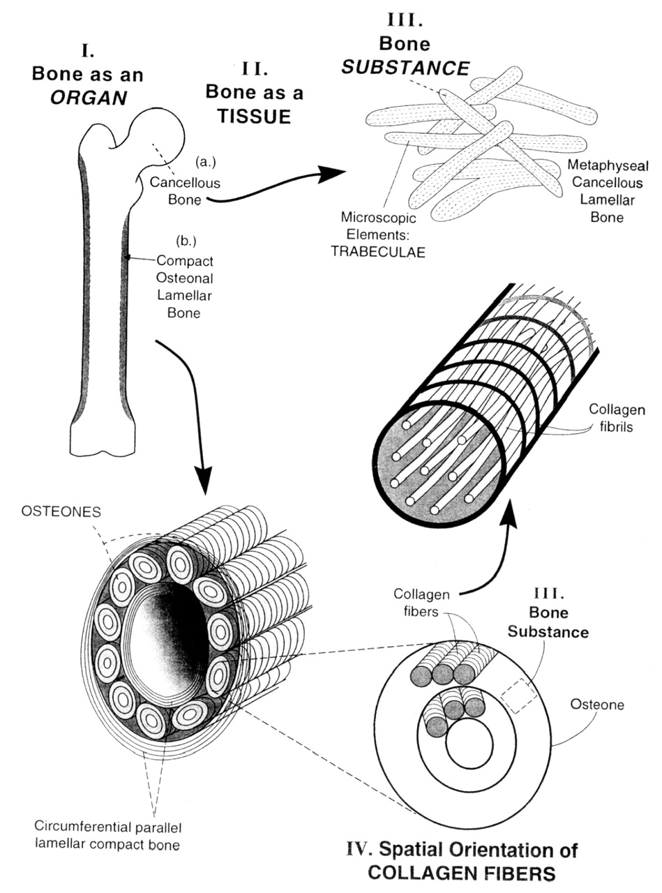 Bone Nature Of The Calcium Phosphate Crystals And Cellular