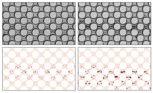 Comparison of the biofilm spreading in the experiment (top) of Zhang et al. (2010b) with the model results (bottom) by Tang et al. (2013) after 11 days (left) and 24 days (right). [Top: Used by permission of American Chemical Society, from Zhang C, Kang Q, Wang X, Zilles JL, Müller RH, Werth CJ (2010b) Effects of pore-scale heterogeneity and transverse mixing on bacterial growth in porous media. Environmental Science & Technology, Vol. 44, Fig. 3, p. 3088; Bottom: Used by permission of John Wiley and Sons, from Tang Y, Valocchi AJ, Werth CJ, Liu H (2013) An improved pore-scale biofilm model and comparison with a microfluidic flow cell experiment. Water Resources Research, Vol. 111, Fig. 6, p. 8376].
