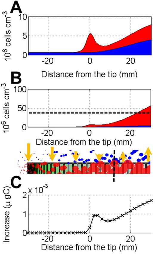 Dynamic attachment and detachment is a bidirectional process that increases bacterial biomass at the root tip: (A) Attached (top red) and free (bottom blue) bacteria density at steady state in the absence of dynamic attachment or detachment. (B) Attached (top red) and free (bottom blue) bacteria density at steady state where dynamic attachment and detachment occurs. A sharp increase of attached bacteria can be observed (note the difference in scales between A and B). At the root tip, attachment is contributing to populating binding sites on the root surface. On older portions of the root, the root surface is saturated with the bacteria and becomes a donor of bacteria to the rhizosphere. When the density of the attached bacteria reaches the carrying capacity (dashed line), detachment becomes dominant and contributes to replenishment of the rhizosphere. (C) The difference between predicted total bacteria with dynamic attachment–detachment and predicted total bacteria without dynamic attachment–detachment.