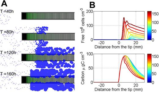 Simulation of colonization of the root tip induced by chemotactic transport of bacteria: (A) At low concentration, the velocity of soil bacteria cannot exceed that of the root tip. However, after about 60 to 80 h, the bacterial population attains a critical size and progresses toward the root tip. (B) A discontinuous bacterial front is formed and its profile is similar to a supersonic boom: the flow of bacteria moving toward the root tip on the right is allowed to move faster that the front. Soil bacteria entering the front from the left cannot escape it because the high density of bacteria in the front stimulates a chemotactic response to the C gradient. At steady state, the front is placed in the elongation zone and corresponds to the peak of C density. The color key indicates time from the start of the experiment in hours.