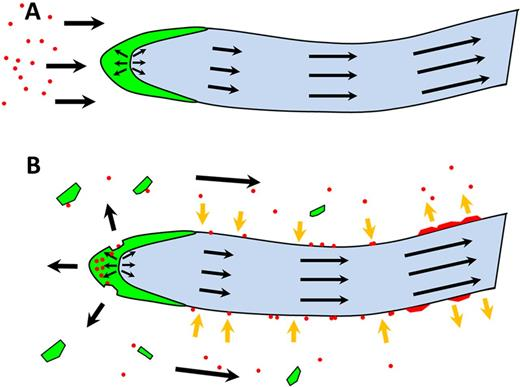 General model for bacterial maintenance at the root tip: A root first contacts soil bacteria, and some bacterial cells attach to the root surface (yellow arrows). In some species, intercellular space between root cap cells (in green) may provide habitats to bacterial cells that can constitute a reservoir of bacterial cells. During root growth, the root cap is sloughed off (black arrows), releasing border cells (in green) but also bacterial cells into the soil solution (red). Attachment–detachment of bacteria on the surface of the root leads to the buildup of microcolonies (red patches) that exploit available exudates. At a certain distance from the tip, bacteria exceed the binding capacity of root surfaces. The net attachment–detachment flux is then reversed and bacterial cells are released and dispersed in different regions of the soil.