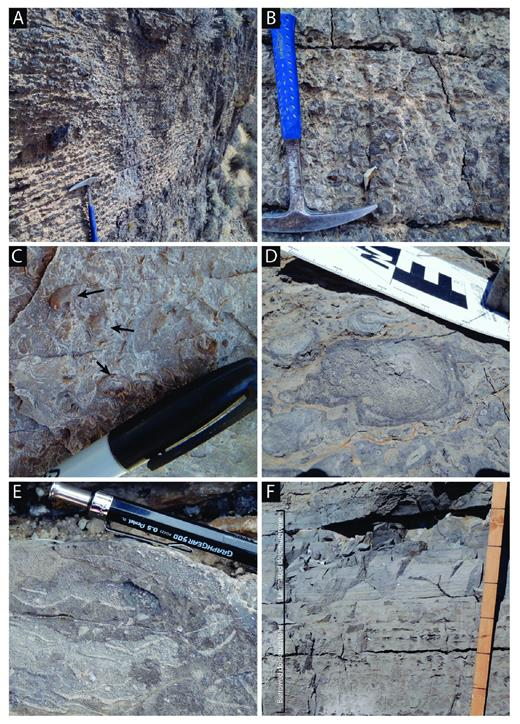 Field photographs of common Guilmette Formation facies: A) Thinly bedded nodular mudstone; B) skeletal oncoid wackestone; C) skeletal open-marine wackestone, where black arrows indicate Gypidula brachiopods; D) stromatoporoid floatstone–boundstone; E)Amphipora wackestone–packstone with Amphipora and Euryamphipora stromatoporoids; F) transition from burrowed dolomudstone to laminated dolomudstone at top of peritidal cycle, where divisions on staff are 10 cm.