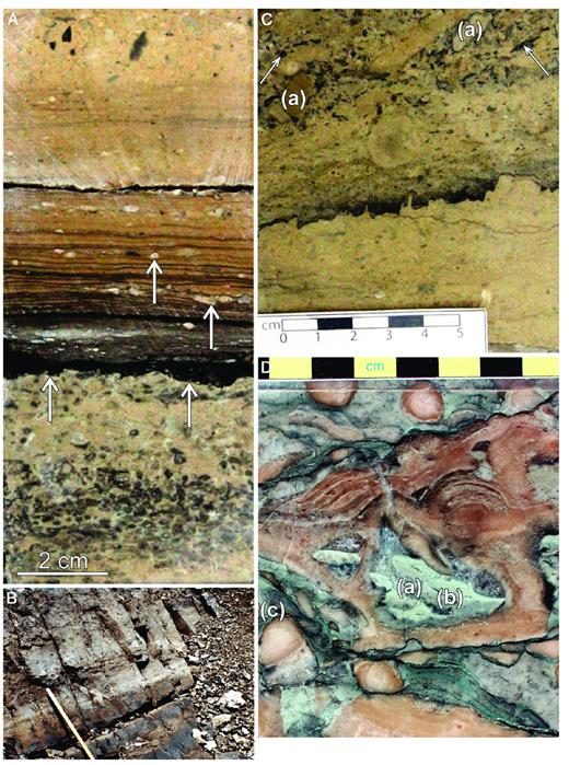 —A) The WD1.4 HFS exposure surface, developed on Amphipora packstone (lower arrows). Overlying green shale (~1 cm thick) is succeeded by laminated lime mudstone with lithoclast fragments (upper arrows). The green shale is interpreted to be paleosol or paleokarst associated, deposited prior to the re-initiation of carbonation production following subaerial exposure, as discussed in Murray (1966), Harvard and Oldershaw (1976), and Chow and Wendte (2010); 1205 m, 5-36-56-21W4 well, Redwater Reef. B) Maximum flooding interval of CS WD1, consisting of dark gray burrowed lime mudstone with branching coral molds toward the top of the unit. Scale is 0.5 m in length; Toma South, northwest margin, Southesk Cairn Complex. C) Avariety of lithoclasts, many blackened, overlie the WD2.1 exposure surface. The lithoclast packstone is developed on stromatoporoid rubble grainstone, deposited in a reef-flat setting. The actual WD2.1 surface is missing from the cored interval; 1228.5 m, 1-22-57-22W4 well, Redwater Reef. D) Dissolution cavities cutting across early equant calcite (a) and infilled with layered green lime mudstone (b). Interparticle space is infilled with green skeletal packstone (c). The interpreted WD3.1 unconformity is located approximately 3 m above this sample; 1046 m, (02)5-36-56-21W4 well, Redwater Reef.