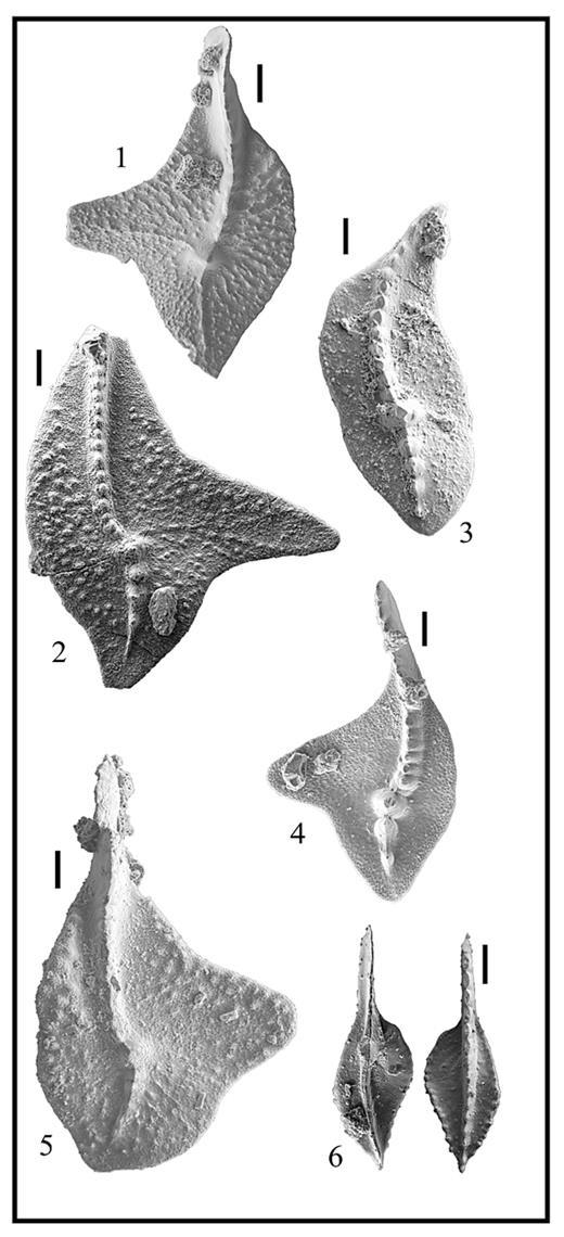 —SEM images of conodonts from section C. Scale = 0.1 mm. Specimens are in the Paleontological Collection, Department of Geological Sciences, State University of New York-Geneseo. (1) Palmatolepis triangularis (Sannemann 1955), section C, 48.5 m. (2) Palmatolepis boogaardi morph cf. Pa. nasuta (Müller 1956), section C 21.5 m. (3) Palmatolepis linguiformis (Müller 1956), section C, 34 m. (4) Palmatolepis boogaardi (Klapper and Foster 1993), section C, 34 m. (5) Palmatolepis bogartensis (Stauffer 1938), section C, 34 m. (6) Polygnathus lodinensis (Pölser, 1969), section C, 35.1 m.