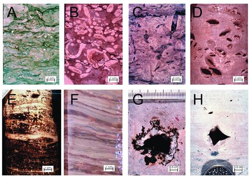—Lithofacies in an idealized shallowing-upward cycle of the Grosmont platform. A) Subtidal skeletal grainstone facies; B–D) shallow(er) shelf facies; E) intertidal algal/cyanobacterial mat facies; F) primary anhydrite–dolomite brine pond/salina facies (this sample represents various subaqueous lithofacies types, further illustrated in Fig. 5); G) supratidal mud facies with mold and reaction halo from dissolution of anhydrite nodule; and H) supratidal mud facies with mold of deformed halite hopper crystal.