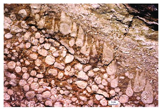 —Oncolites and capped oncolites in Sadler Limestone in the karst corridor on the west side of McWhae Ridge. The oncolites were built by Girvanella, and caps on the oncolites in the final layer were built by Sphaerocodium.