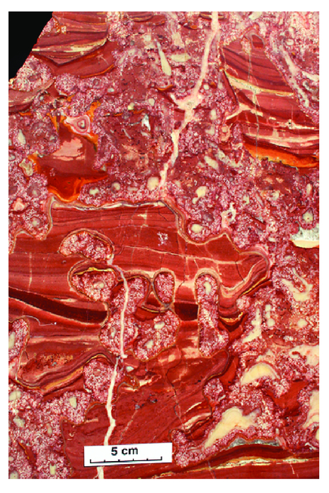 —Polished slab of reef limestone (Pillara Limestone) from a talus block at the foot of the Classic Face at Windjana Gorge, showing a framework of the stromatoporoid Stachyodes encrusted by dense Renalcis, the remaining interstices in the reef being filled with red, laminated, pelloidal limestone.